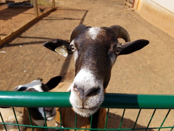 goat1.jpg