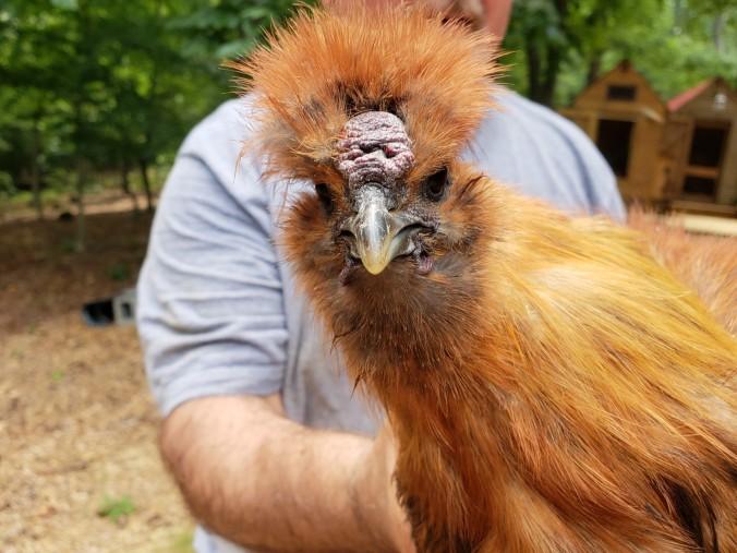 last rooster (2).jpeg