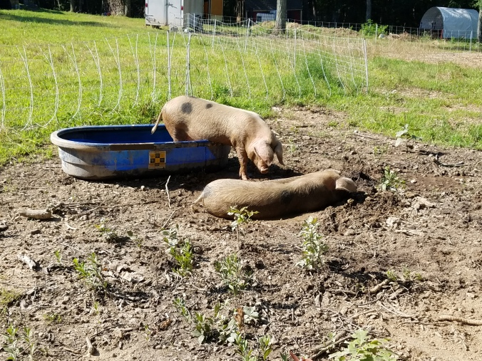 pigs (15).jpg