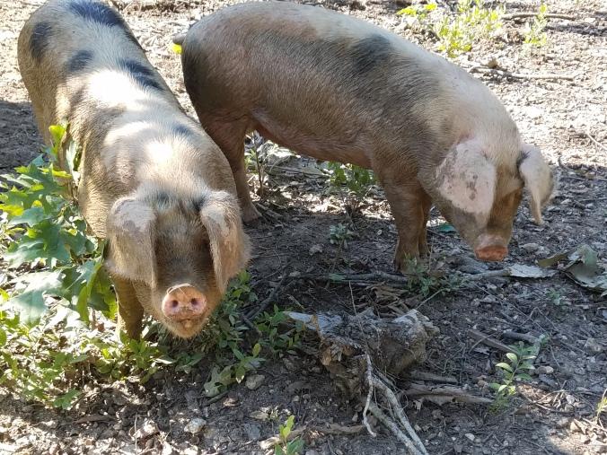 pigs (20).jpg