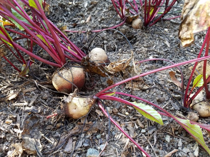 beets in ground 2