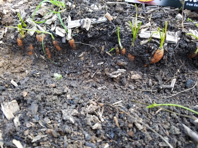 carrots in ground 2