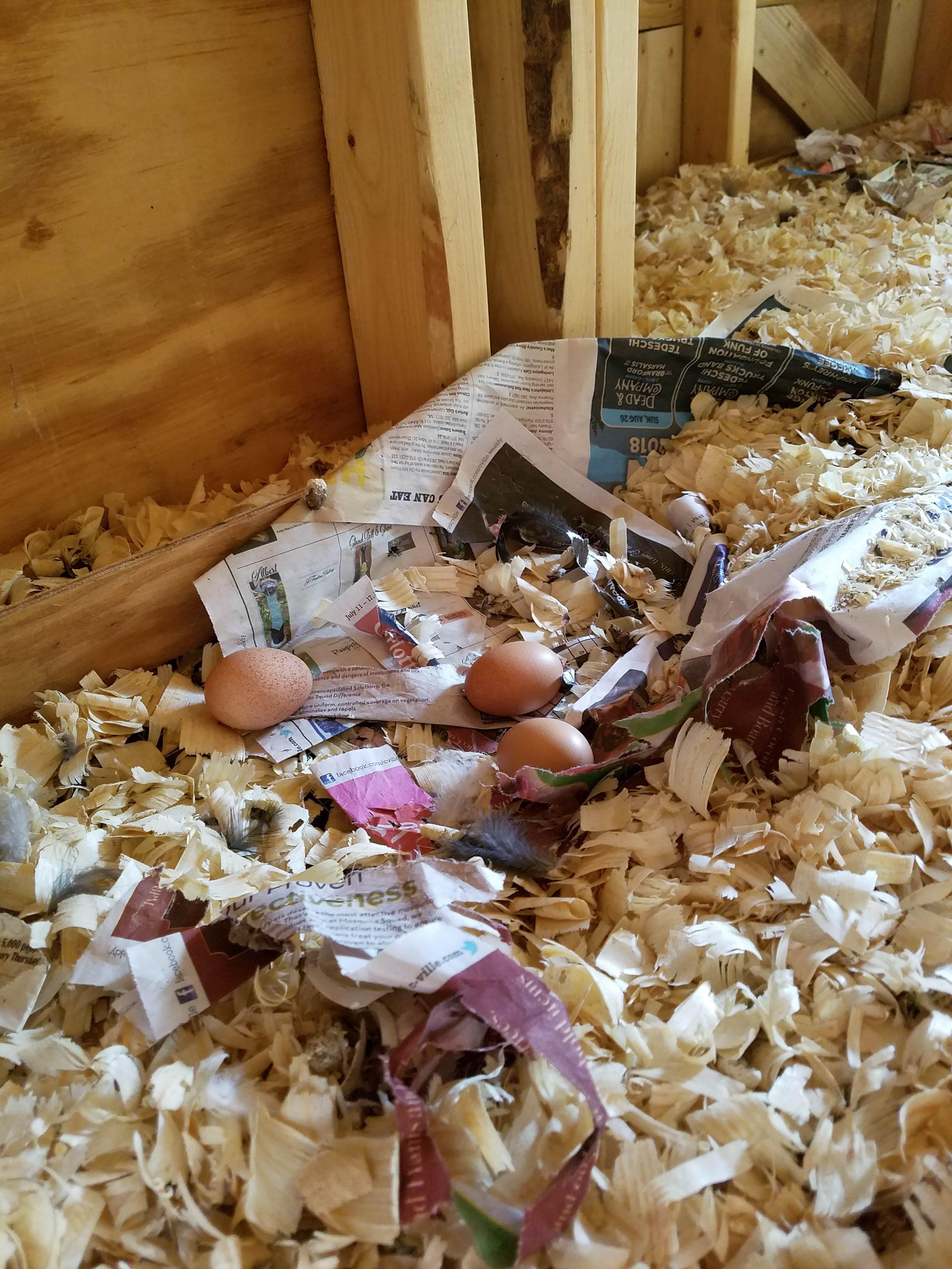 first silkie eggs.jpg