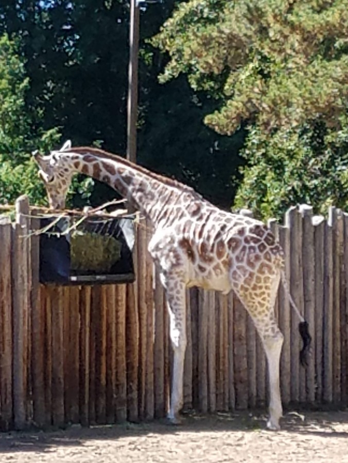 baby giraffe (2).jpg