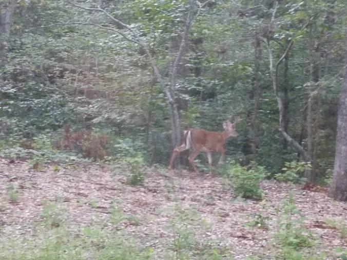 deer4 trotting.jpg