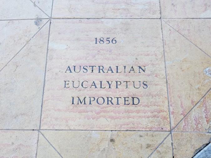 eucalyptus 1856 (2)