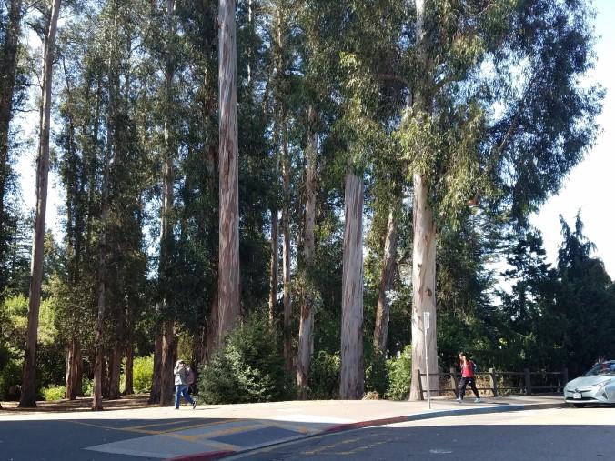 eucalyptus grove trunks4