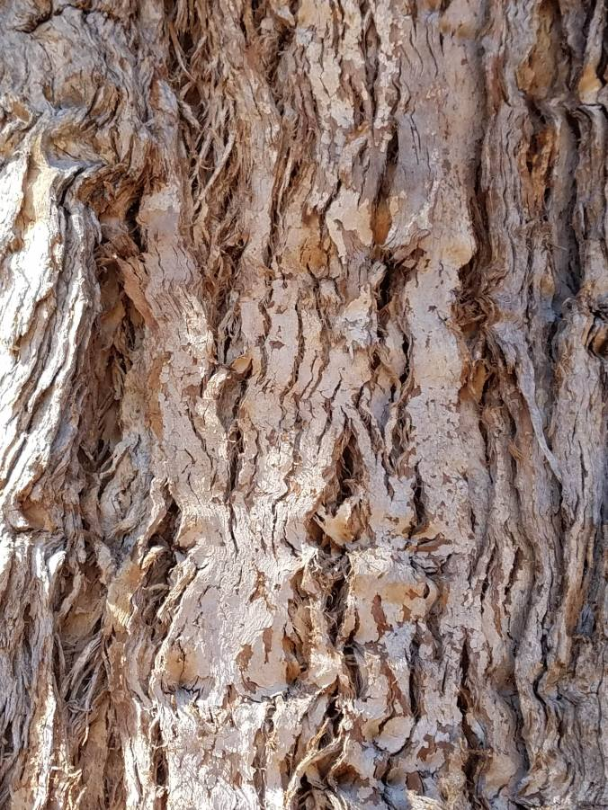 eucalyptus tree bark2