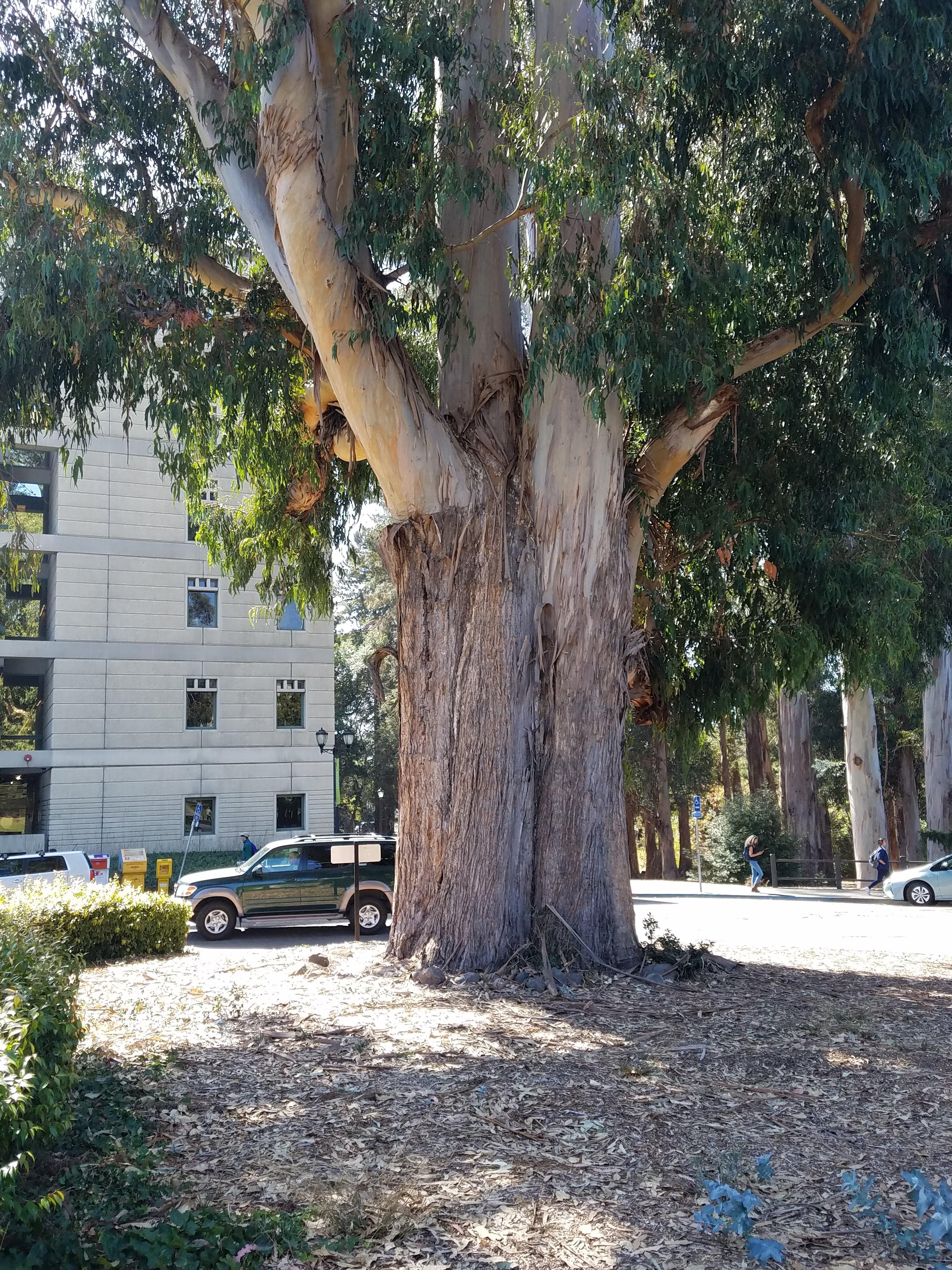 eucalyptus trunk.jpg