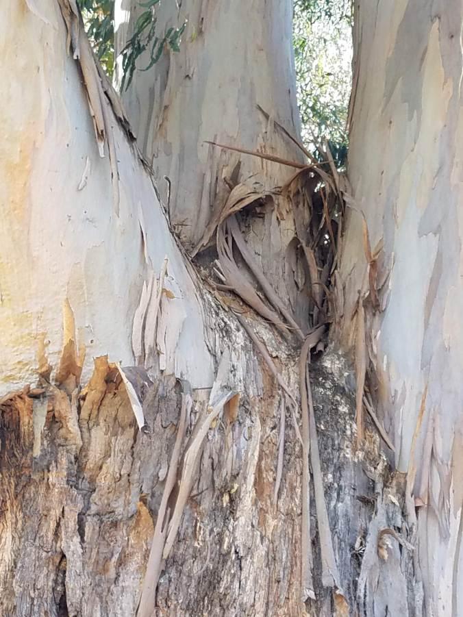 eucalyptus up closer still