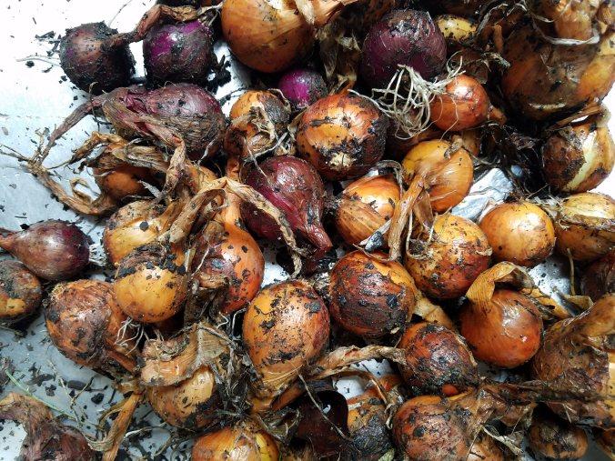 garden onions dirty.jpg