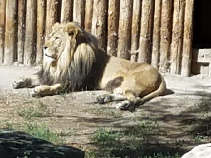 lion (2).jpg