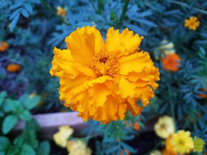 marigold close up.jpg