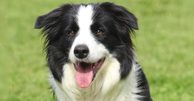 border collie (2).png