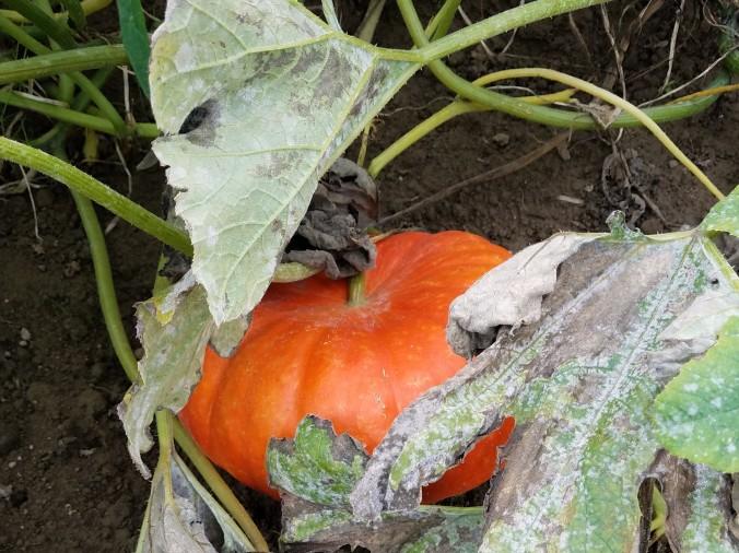 pumpkin6 (2).jpg