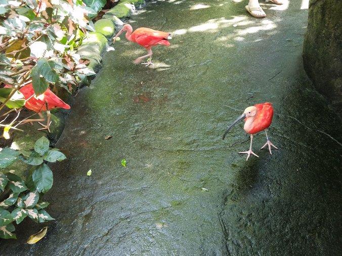 scarlet ibises.jpg