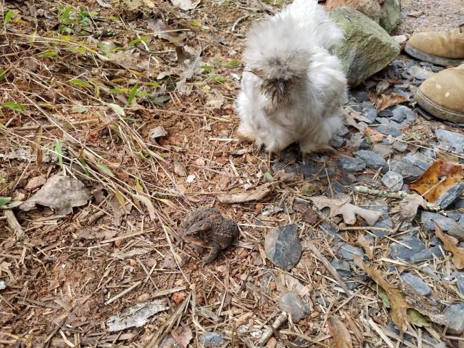 silkie meets toad.jpg