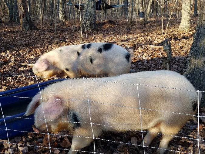 pigs (2).jpg