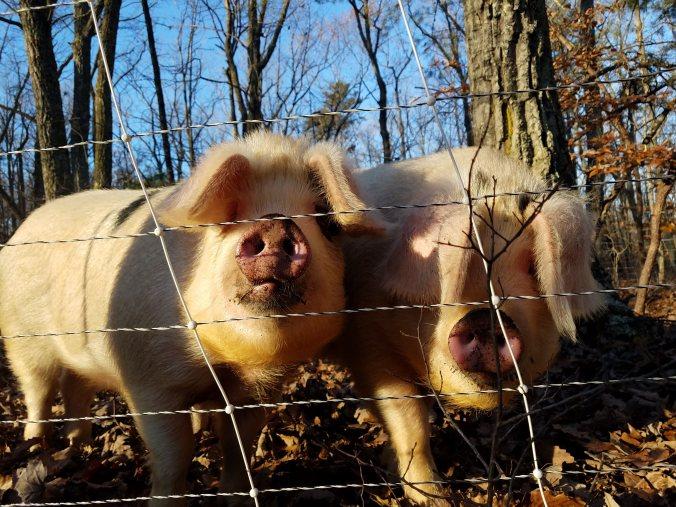 pigs3.jpg