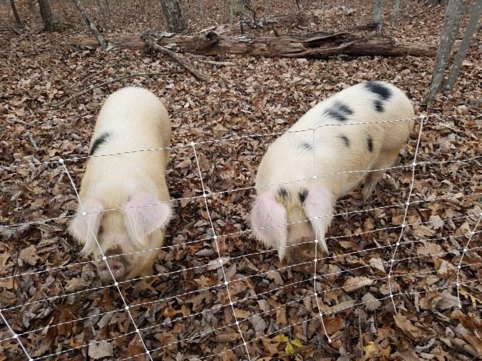 pigs8.jpg