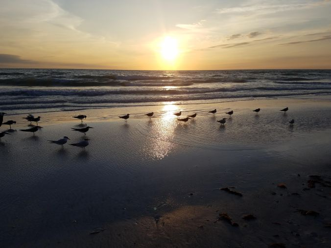terns in water at sunset.jpg