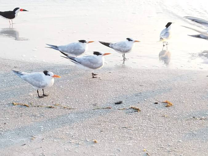 terns in water