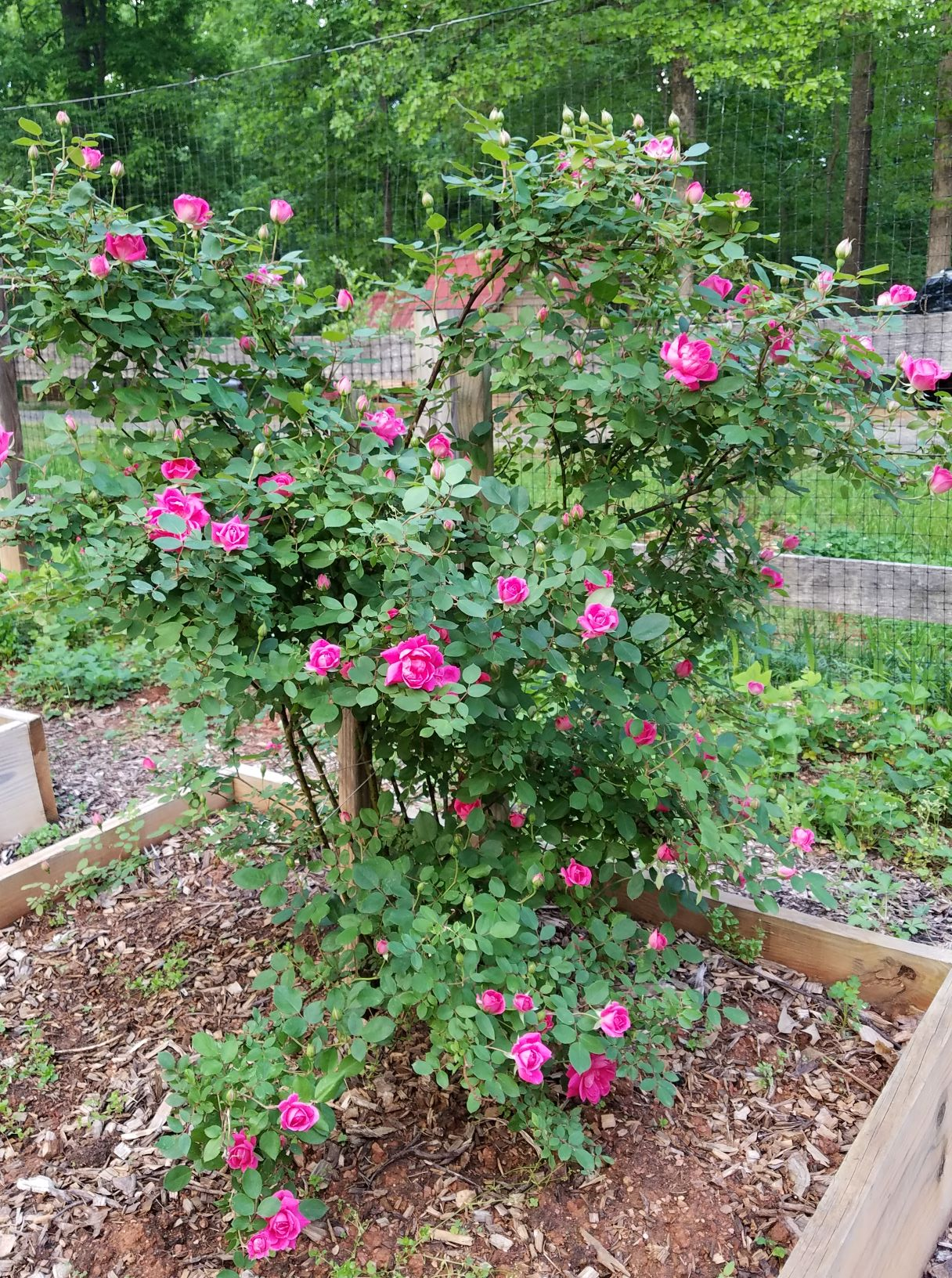 knockout roses 5.5.19.2.2mp.jpg