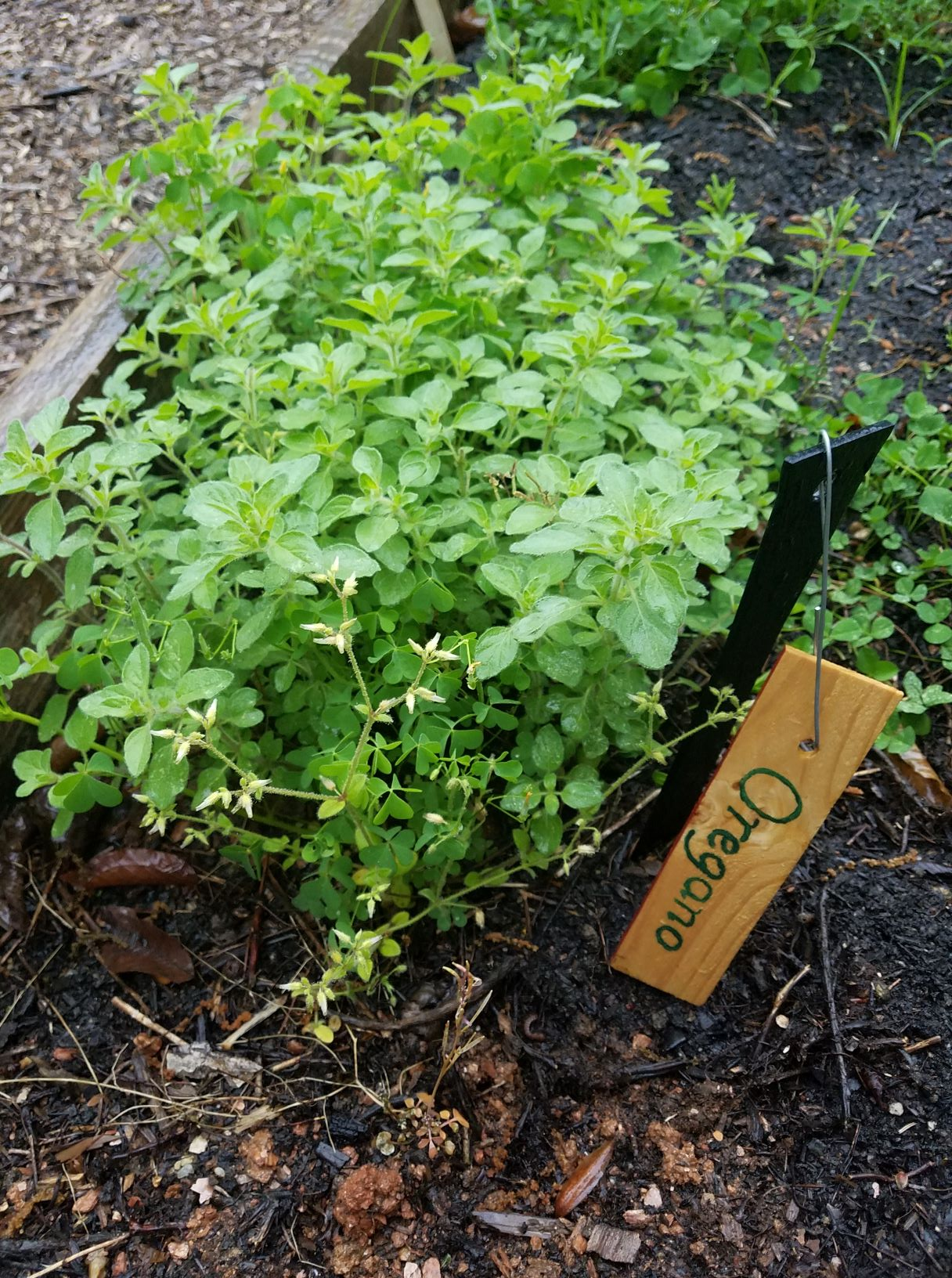 oregano.2mp.jpg