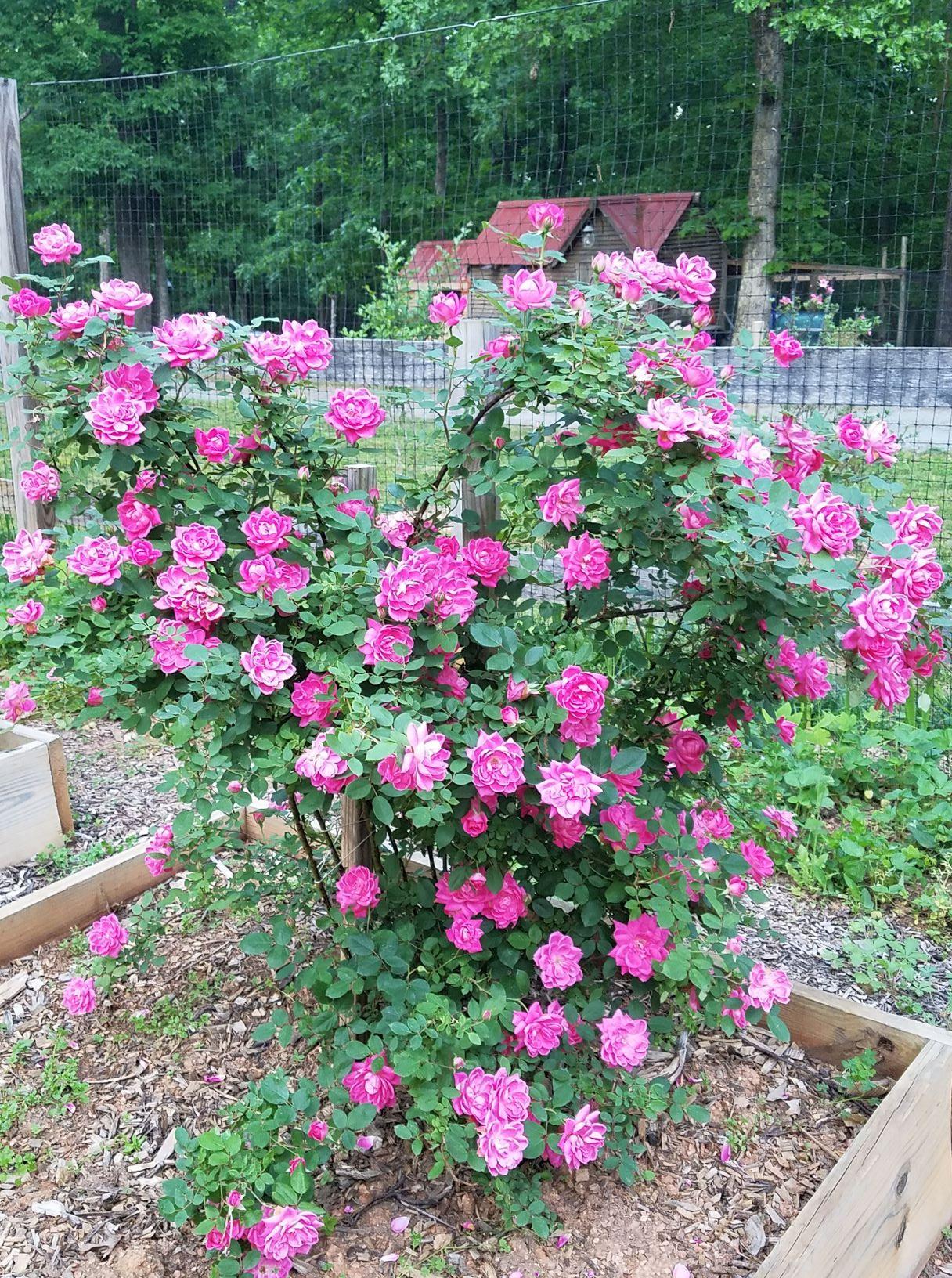 roses May 10.2mp.jpg