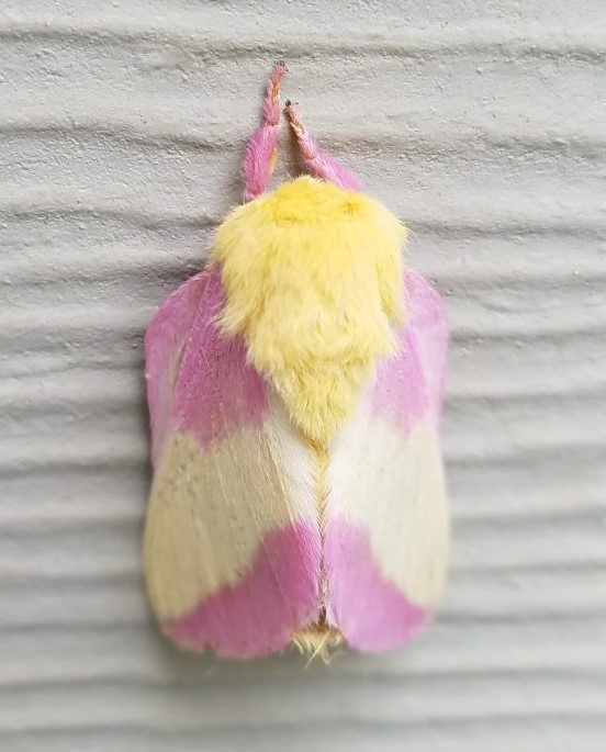 rosy maple moth1.2mp (2).jpg