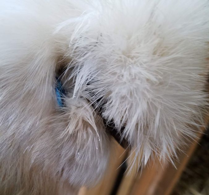 whitey's ear (2).2mp.jpg