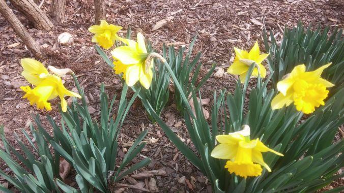 daffodils 2.8.17.2mp.jpg
