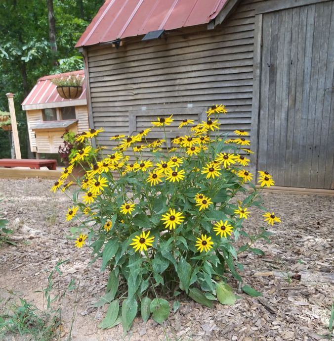 rudbeckia.2mp.jpg