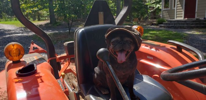 Coco on tractor.2mp.jpg