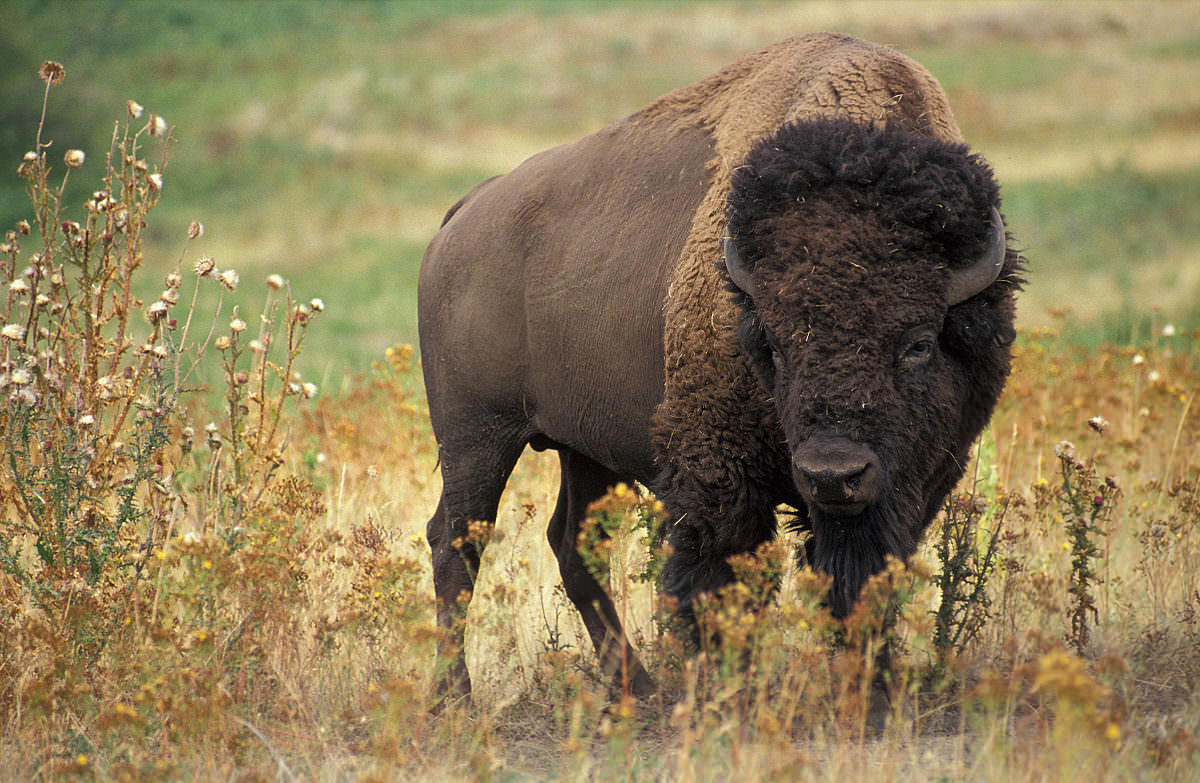 1200px-American_bison_k5680-1-1200x783.jpg